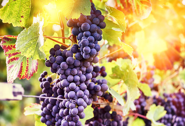 Grapes in a vineyard